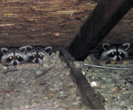 Raccoon's in the Attic??!!
