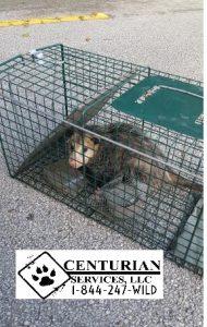 possum in trap