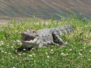 alligator-2695659__340