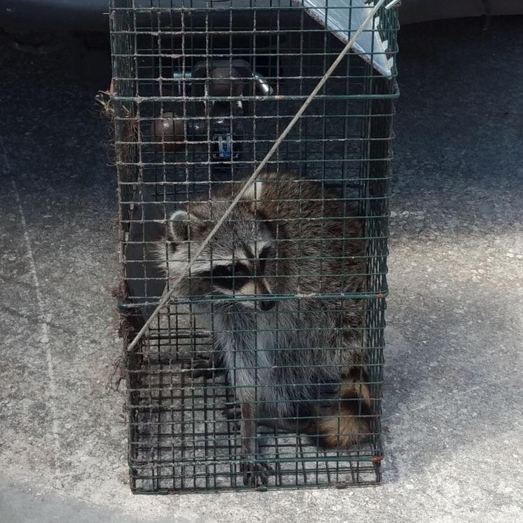 Centurian Wildlife Control | Fort Lauderdale, FL | Raccoon