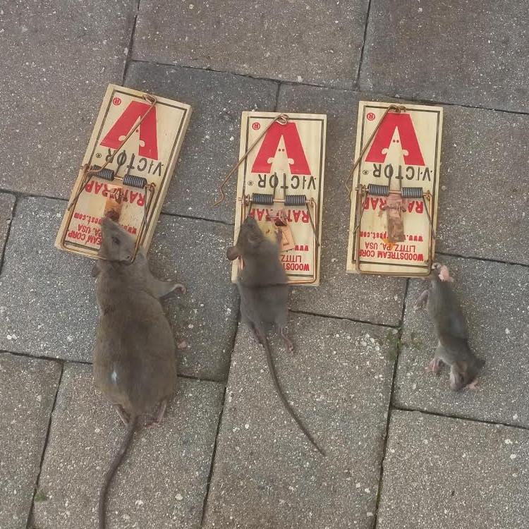 Centurian Wildlife Control | Orlando, FL | Raccoon Removal