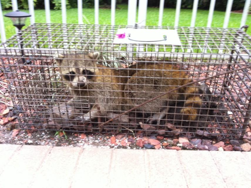 Centurian Services 187 Animal Control 187 Raccoon Sounds